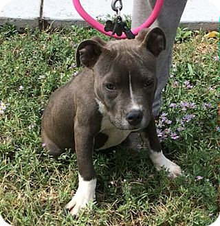 Pit Bull Terrier Mix Puppy for adoption in Ogden, Utah - Rauzzy