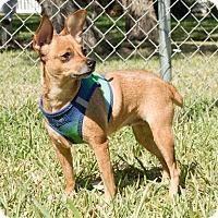 Adopt A Pet :: Princess Leia - Rockport, TX