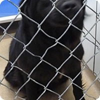 Adopt A Pet :: 50106 Paul (foster to adopt pending) - Zanesville, OH