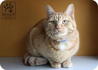 Domestic Shorthair Cat for adoption in Lancaster, Massachusetts - Pumpkin