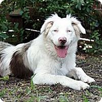 Adopt A Pet :: Blew - PENDING - Savannah, GA