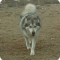 Adopt A Pet :: Kiska - Golden, CO