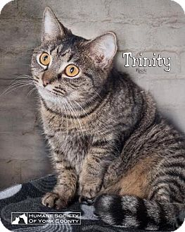 Domestic Mediumhair Cat for adoption in Fort Mill, South Carolina - Trinity 5583