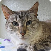 Domestic Shorthair Cat for adoption in Cumberland, Maine - Simon 2