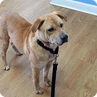 Adopt A Pet :: Nico - Murrells Inlet, SC