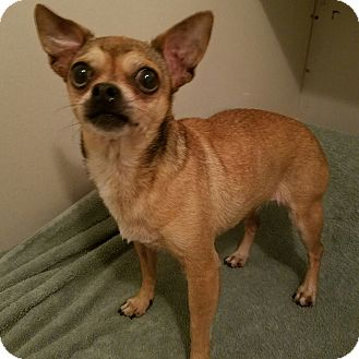 Chihuahua Mix Dog for adoption in Durham, North Carolina - Carly