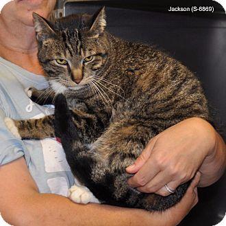 Domestic Mediumhair Cat for adoption in Sunrise Beach, Missouri - Jackson