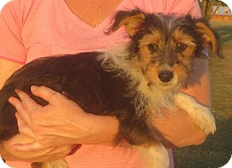 Yorkie, Yorkshire Terrier/Sheltie, Shetland Sheepdog Mix Puppy for adoption in Greenville, Rhode Island - Rose
