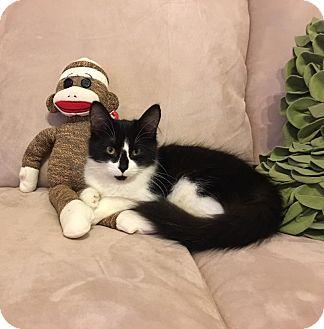 Domestic Shorthair Kitten for adoption in Hanover, Ontario - Oreo