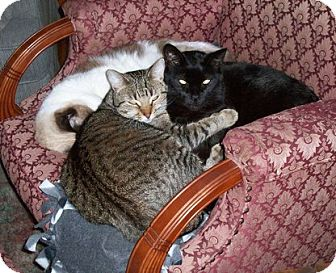 Domestic Shorthair Cat for adoption in Toledo, Ohio - Helen