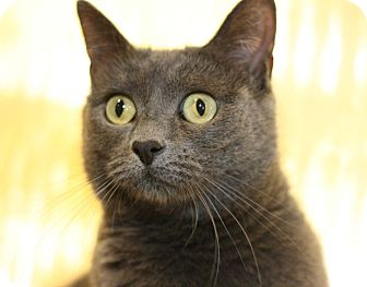 Russian Blue Cat for adoption in Canoga Park, California - Layce May