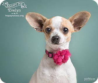 Chihuahua Mix Dog for adoption in Chandler, Arizona - Evie
