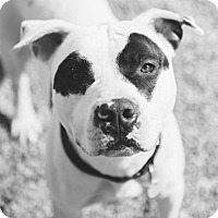 Terrier (Unknown Type, Medium)/Pit Bull Terrier Mix Dog for adoption in Cleveland, Ohio - Tanis