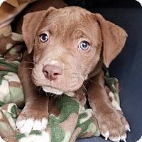 Adopt A Pet :: Scribbles - Gainesville, FL