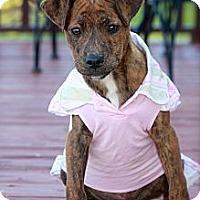 Adopt A Pet :: Paisley - Albany, NY