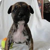 Adopt A Pet :: Baby Carli - Marlton, NJ