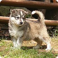 Adopt A Pet :: Harry - Rigaud, QC