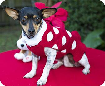 Rat Terrier/Jack Russell Terrier Mix Dog for adoption in Santa Fe, Texas - Sandy cutey---N VIDEO