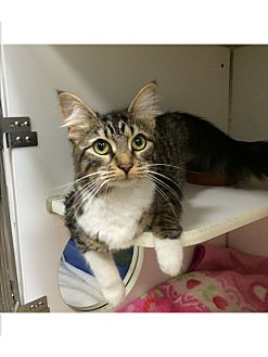 Domestic Longhair Cat for adoption in Oakland, New Jersey - Mindy