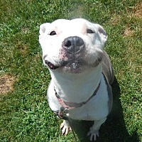 Pit Bull Terrier Mix Dog for adoption in Thompson, Pennsylvania - Roxy