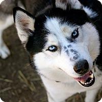 Siberian Husky Dog for adoption in Sycamore, Illinois - Fuli
