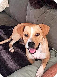 Hound (Unknown Type)/Boxer Mix Dog for adoption in Franklinville, New Jersey - Quinn