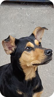 Miniature Pinscher Mix Dog for adoption in Houston, Texas - A - PRINCESS