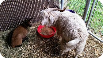 Goat for adoption in Bellingham, Washington - Ozzie