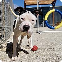 Adopt A Pet :: Trixie - Wheaton, IL