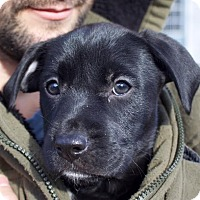 Labrador Retriever/Hound (Unknown Type) Mix Puppy for adoption in Toms River, New Jersey - Faith