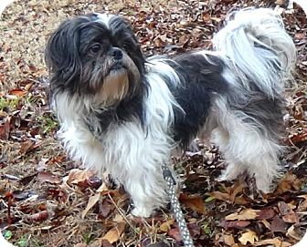 Shih Tzu Dog for adoption in Holly Springs, Mississippi - Oreo
