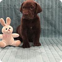 Adopt A Pet :: Sicily - Denton, TX
