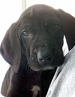 Labrador Retriever/Basset Hound Mix Dog for adoption in Chantilly, Virginia - S Bassadors Sophie