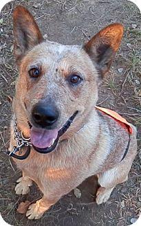 Australian Cattle Dog Mix Dog for adoption in Delano, Minnesota - Willis