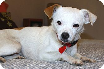 Jack Russell Terrier/Chihuahua Mix Dog for adoption in Bellflower, California - Ethan