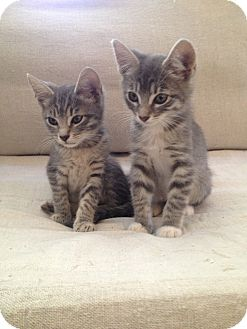Domestic Shorthair Kitten for adoption in Los Angeles, California - Zack & Dee Dee- cuddle pair