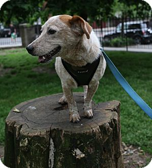Smooth Fox Terrier/Jack Russell Terrier Mix Dog for adoption in Jersey City, New Jersey - Keith Morrison