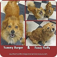 Adopt A Pet :: Yummy and Fancy - Studio City, CA