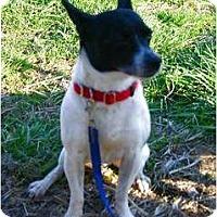 Adopt A Pet :: Bobo Buttniski - Carmel, IN