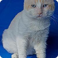 Adopt A Pet :: Phillip Seymour Hoffcat - Charlotte, MI