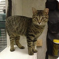 Domestic Shorthair Cat for adoption in St. James City, Florida - Mattie