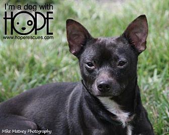 Chihuahua Mix Dog for adoption in Godfrey, Illinois - Oreo
