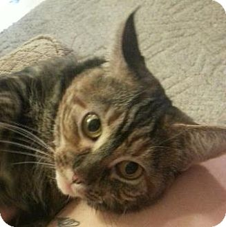 Domestic Shorthair Cat for adoption in Statesville, North Carolina - Tawnie
