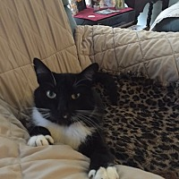 Adopt A Pet :: Tuxedo - Harbor City, CA