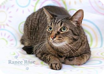Domestic Shorthair Cat for adoption in Sterling Heights, Michigan - Jacob