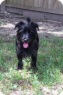 Scottie, Scottish Terrier/Schnauzer (Miniature) Mix Dog for adoption in Baton Rouge, Louisiana - Lincoln