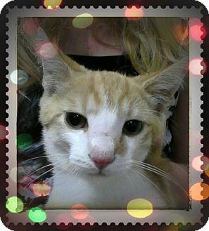 Domestic Shorthair Cat for adoption in Trevose, Pennsylvania - Freckles