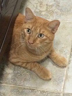 Domestic Shorthair Cat for adoption in Waller, Texas - Harris