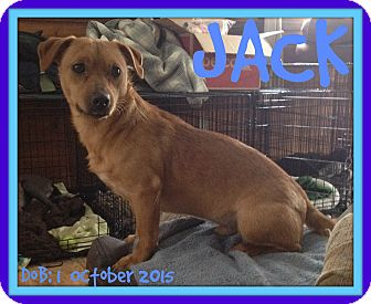 Dachshund/Pug Mix Dog for adoption in White River Junction, Vermont - JACK