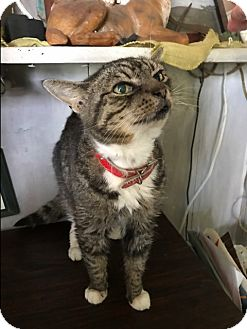 Domestic Shorthair Cat for adoption in Harrison, New York - Muffy